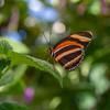 Banded Orange Wing