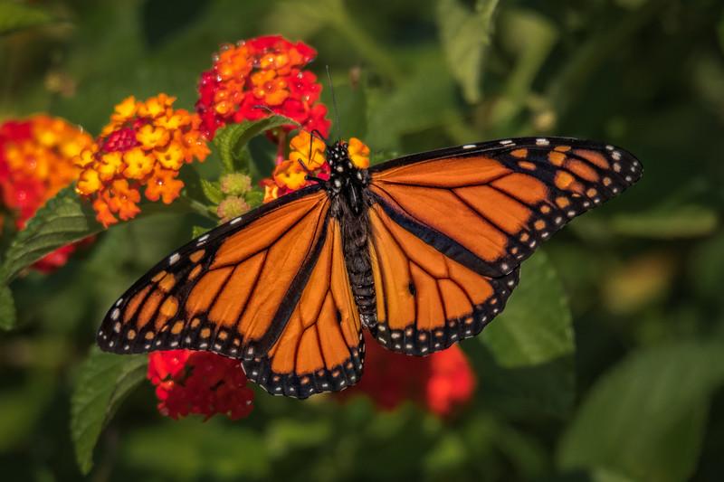 Monarch on Lantana