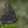 Spicebush Swallowtail III