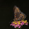 Spicebush Swallowtail  II