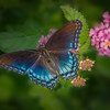 Red=spotted Purple