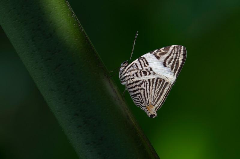 Zebra Mosaic