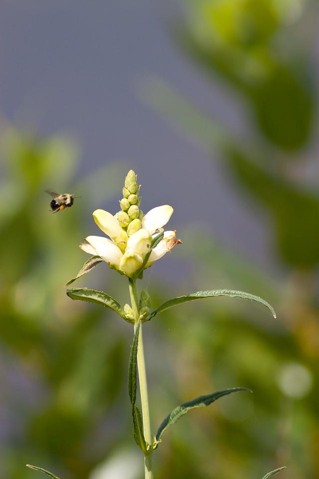Bumble Bee (Bombus Impatiens)