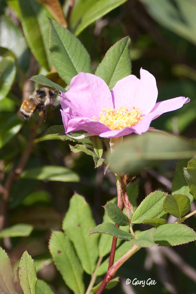 Bumble Bee (Bombus Rufocinctus) and Wild Rose