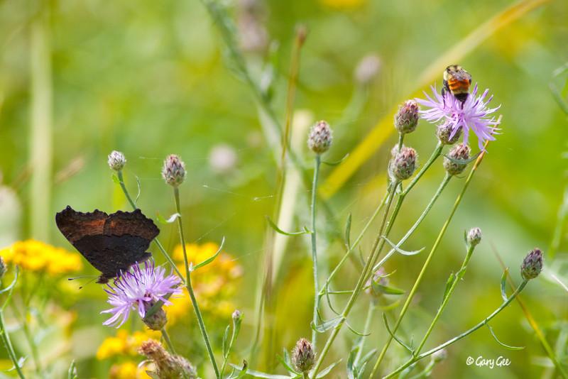 Milbert's Tortoiseshell Butterfly & Bumble Bee (Bombus Borealis)