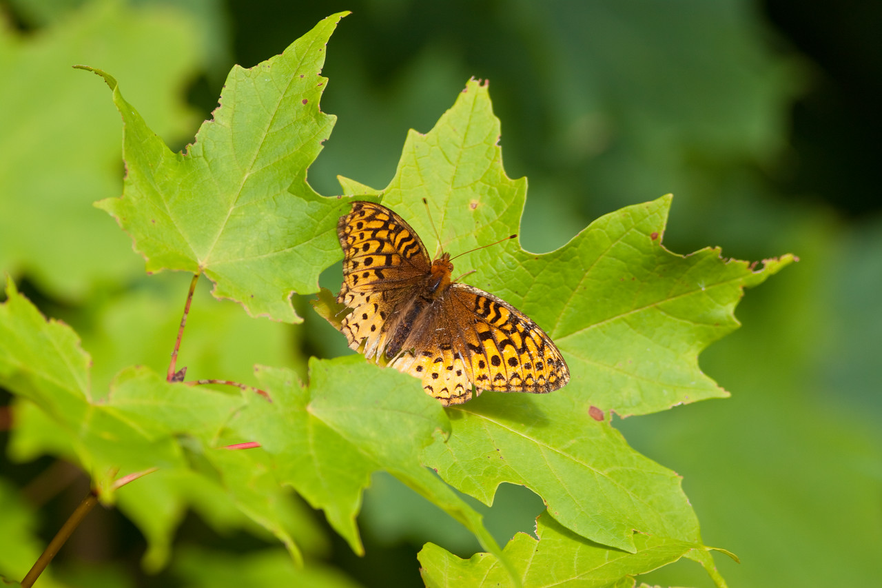 Great Spangled Fritillary Butterfly on Maple Leaves