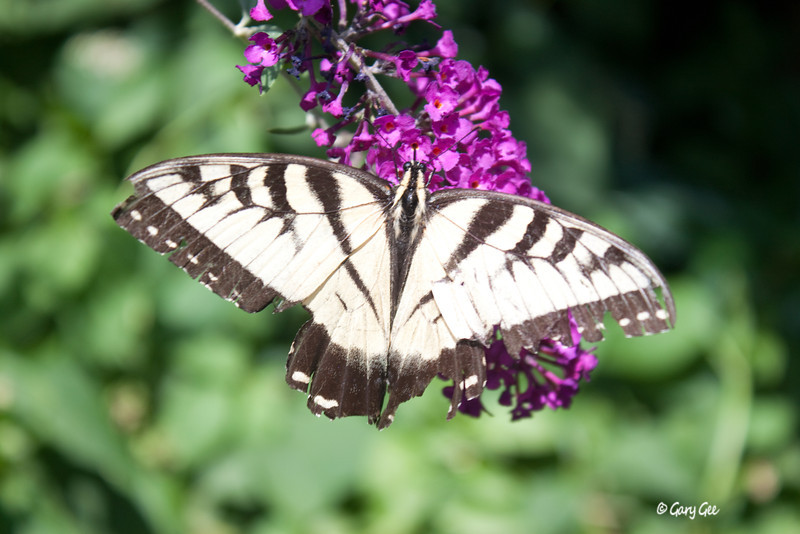 Late season Tiger Swallowtail Butterfly
