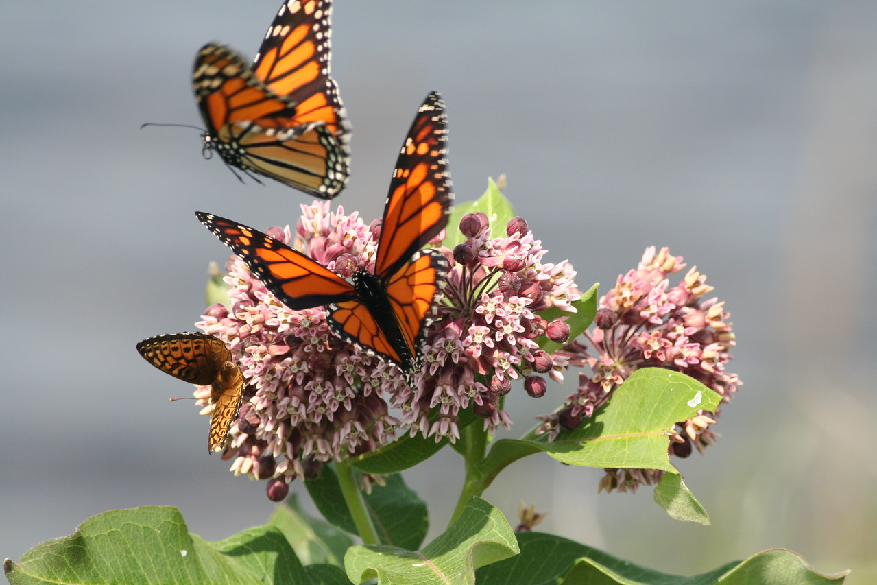 Two Monarch's share a Milweed with a Greater Spangled Fritillary Butterfly