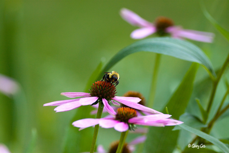 Bumble Bee (Bombus Impatiens) on Cone flower