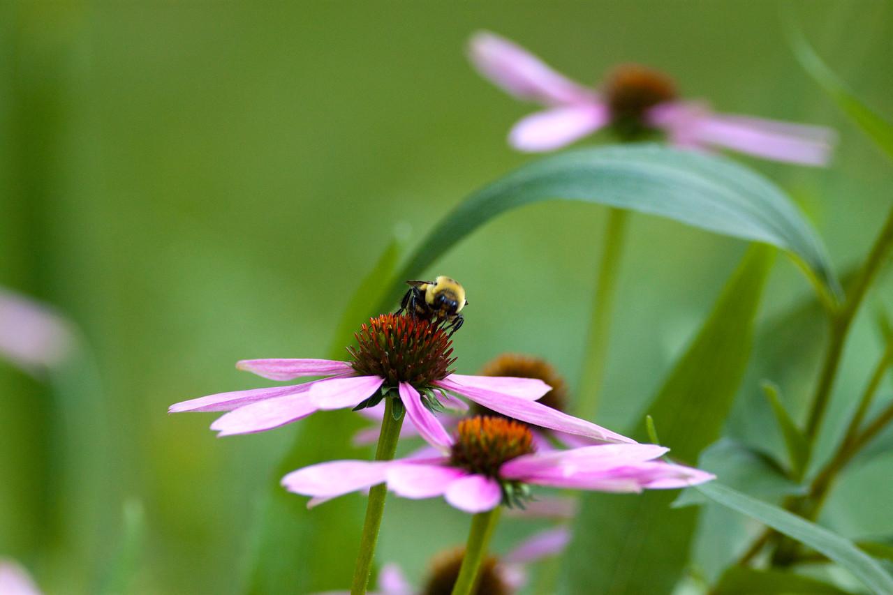 Bumble Bee (Bombus Impatiens) on Cone flower