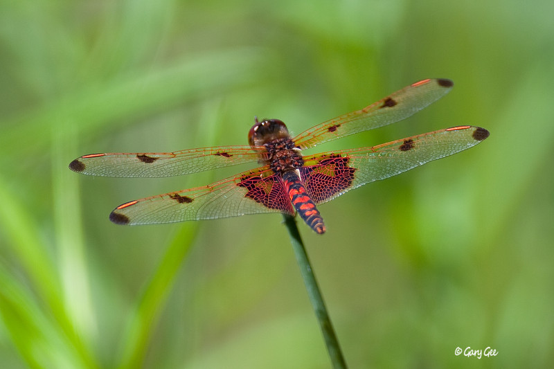 Dragonfly dressed in Orange!