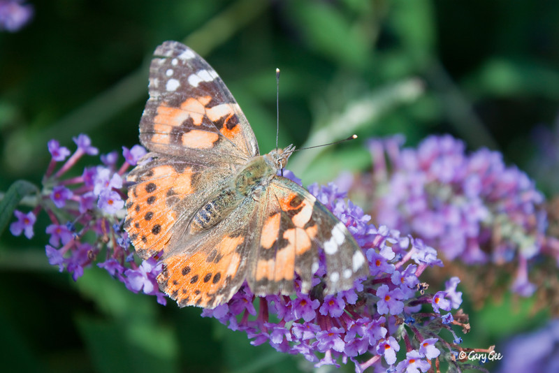 Painted Lady Butterfly in the bright sunlight