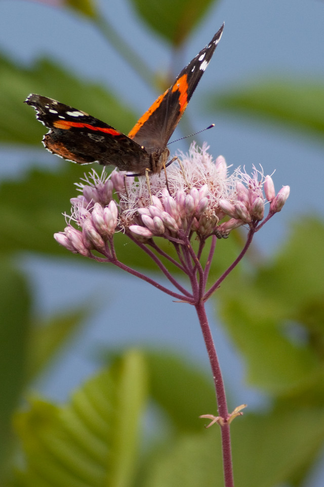 Red Admiral Butterfly again!