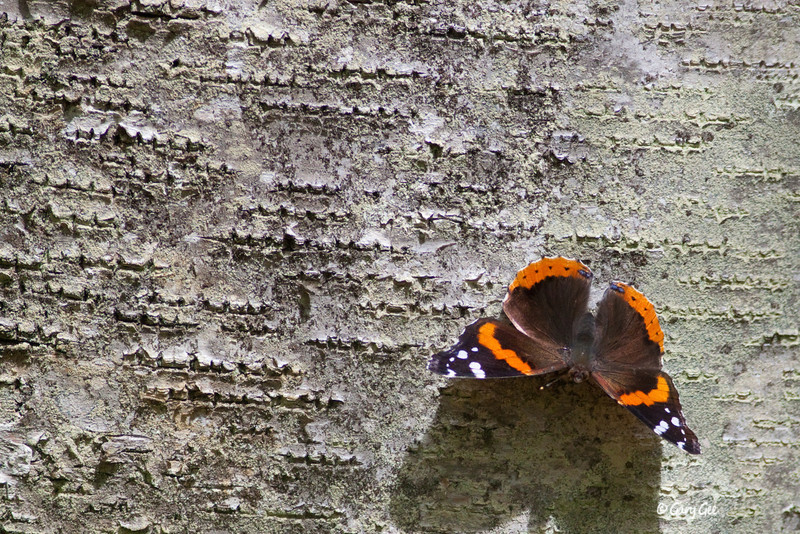 Red Admiral Butterfly on Birch Tree