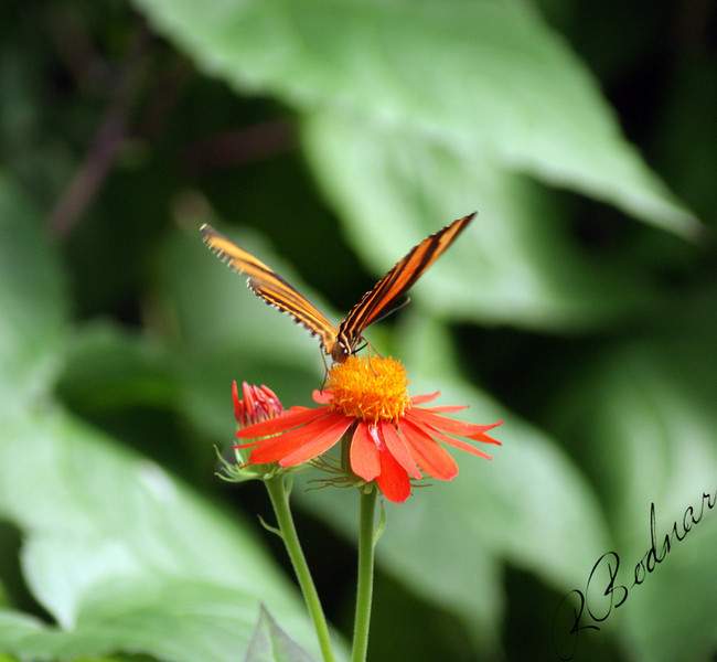 Photo By Robert Bodnar.......................Banded Orange Heliconian Butterfly