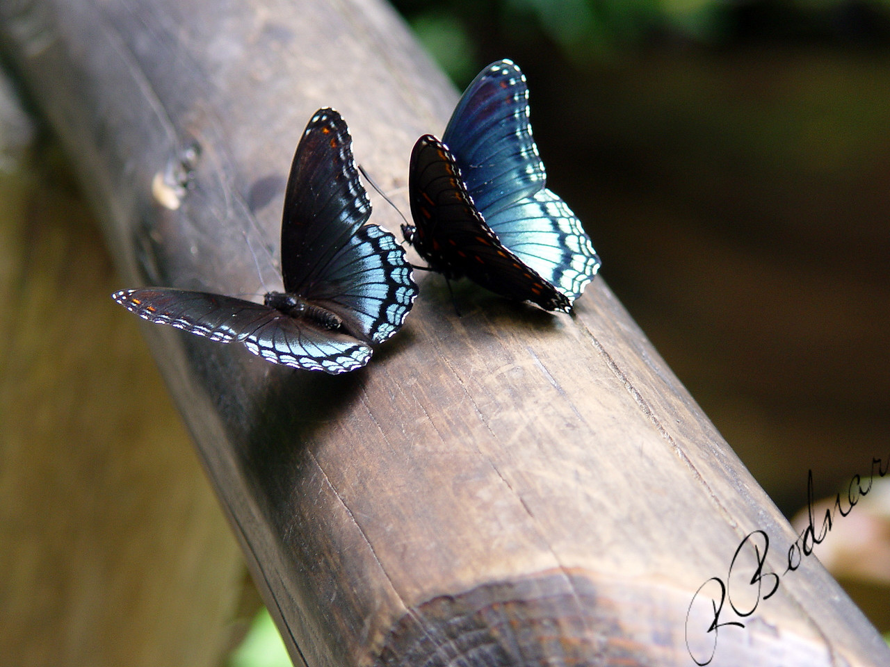 Photo By Robert Bodnar.................Two  'Astyanax'  Red-spotted Purple Butterflies