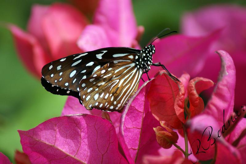 Photo By Robert Bodnar..........................................Blue Glassy Tiger