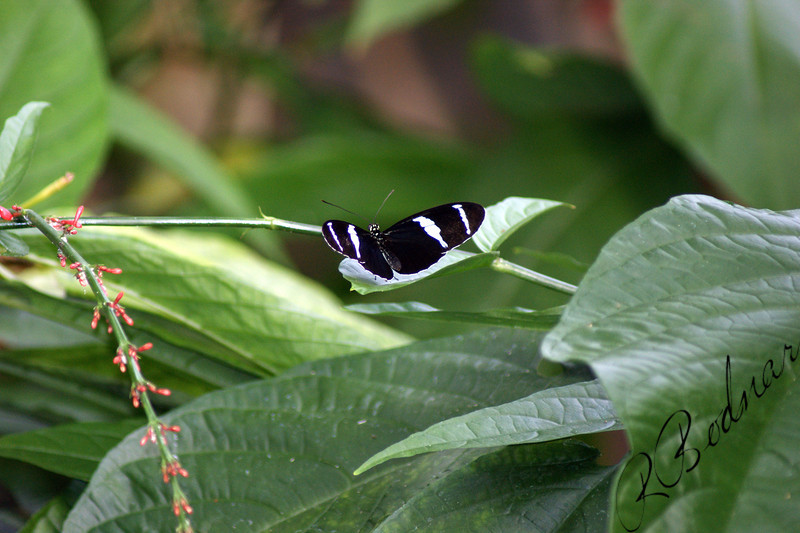 Photo By Robert Bodnar.......................Heliconius Cydno Butterfly