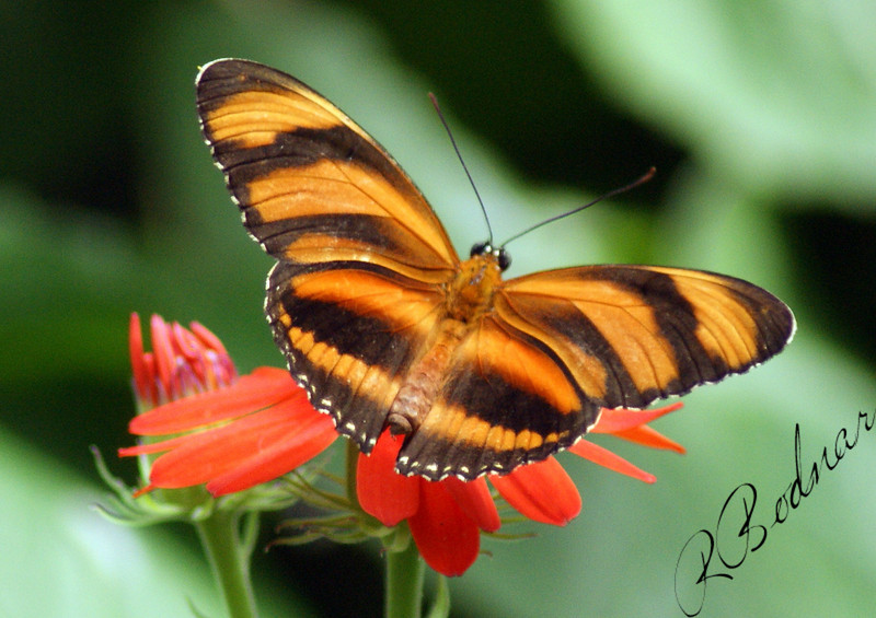 Photo By Robert Bodnar.............................Banded Orange Butterfly