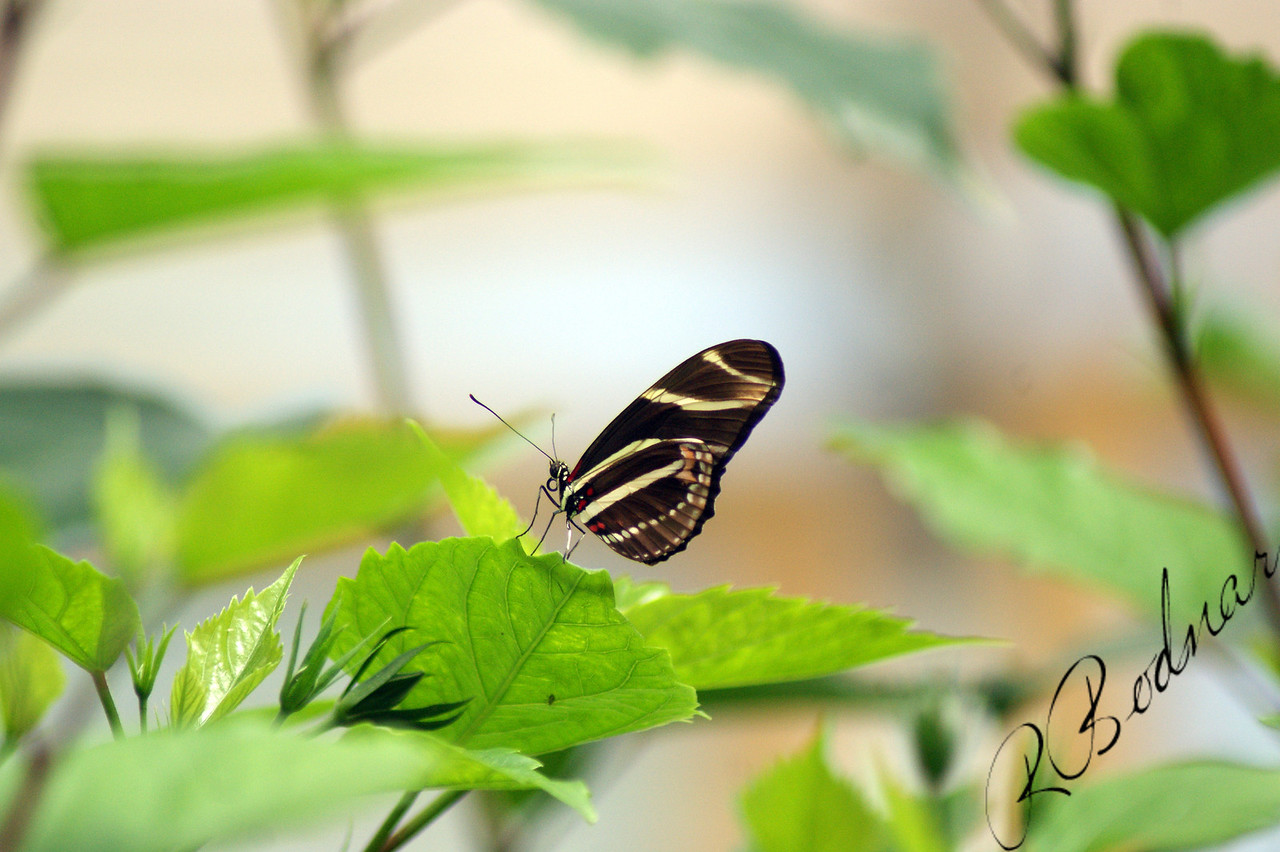 Photo By Robert Bodnar............................Zebra Heliconian Butterfly
