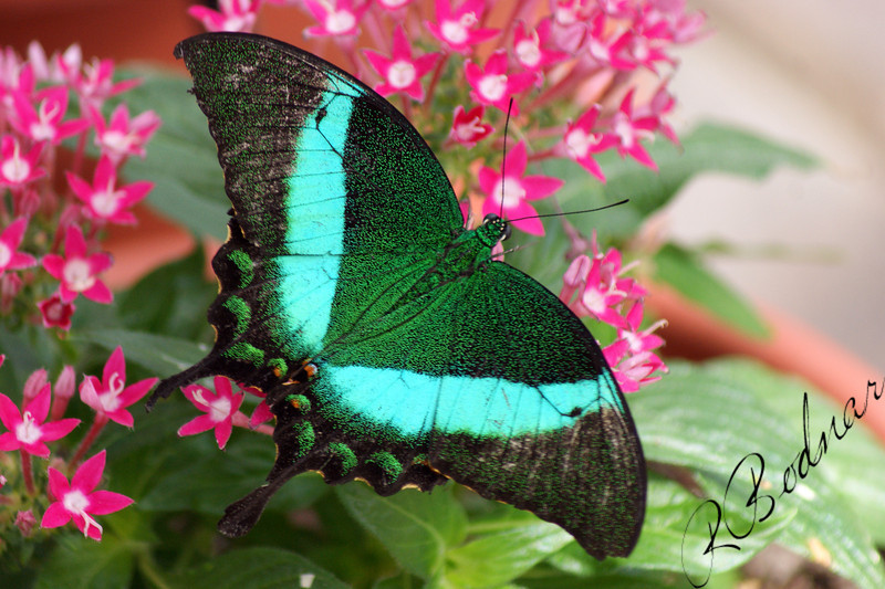 Photo By Robert Bodnar.........................Emerald Swallowtail