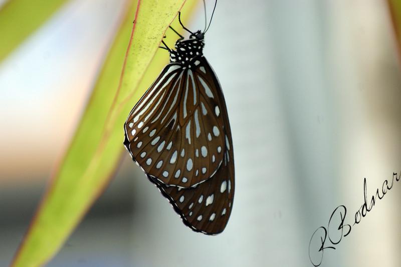 Photo By Robert Bodnar............................Blue Glassy Tiger