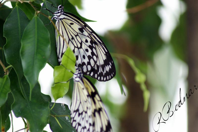 Photo By Robert Bodnar................................Tree Nymph