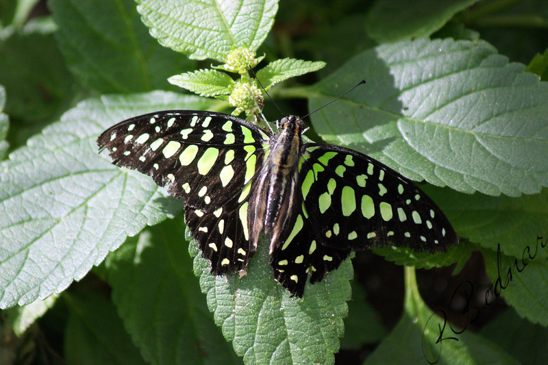 Photo By Robert Bodnar............................Graphium Agamemnon Butterfly