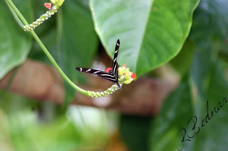 Photo By Robert Bodnar.................................Zebra Longwing Butterfly