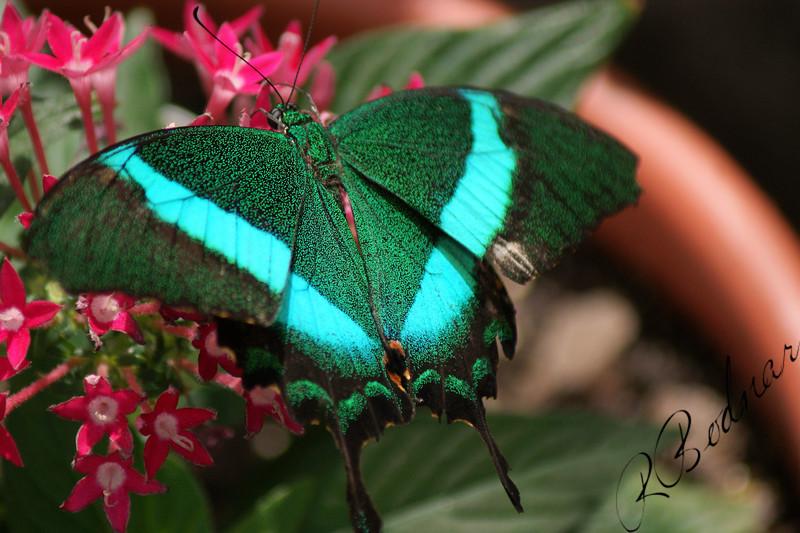 Photo By Robert Bodnar...............................Emerald Swallowtail