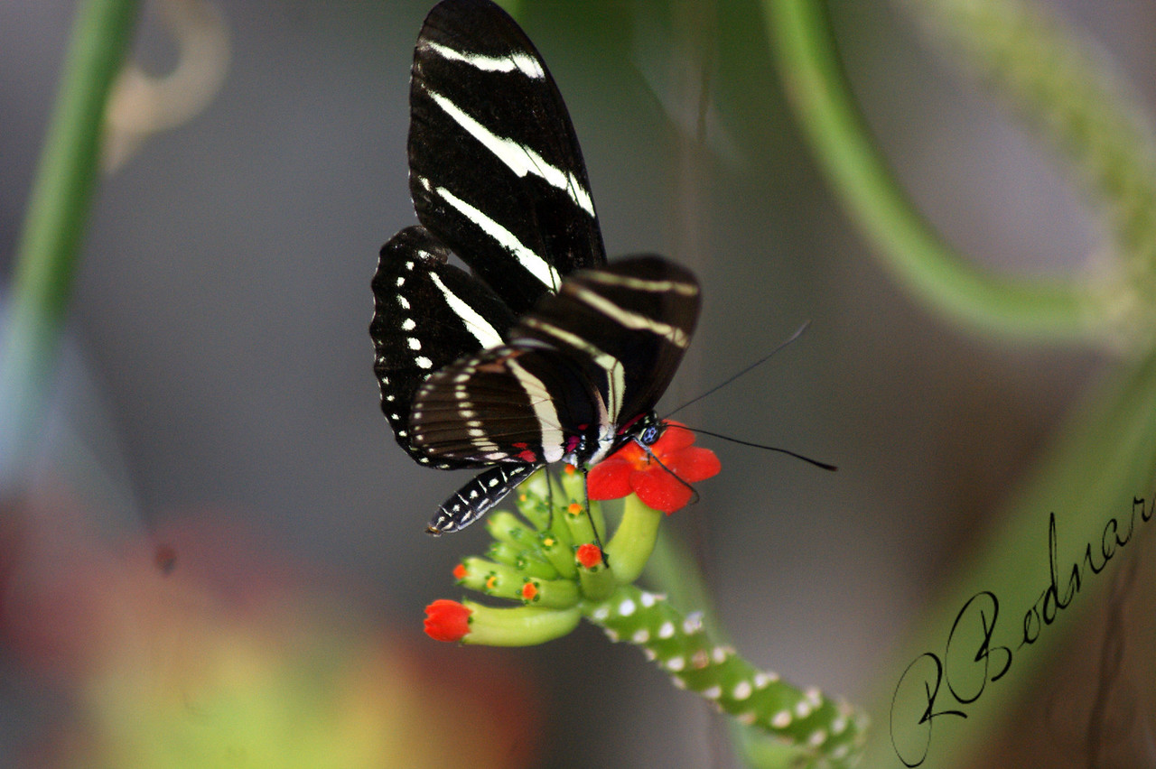 Photo By Robert Bodnar.........................................Zebra Longwing Butterfly