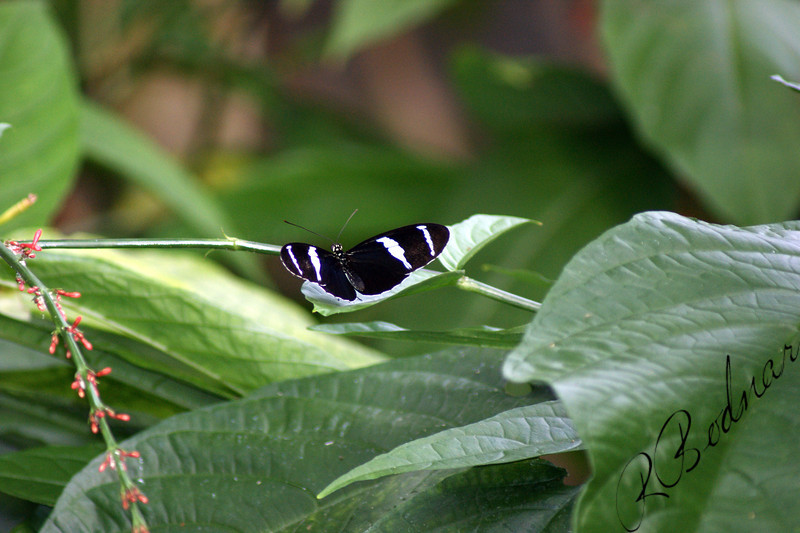 Photo By Robert Bodnar.....................Heliconius Cydno Butterfly