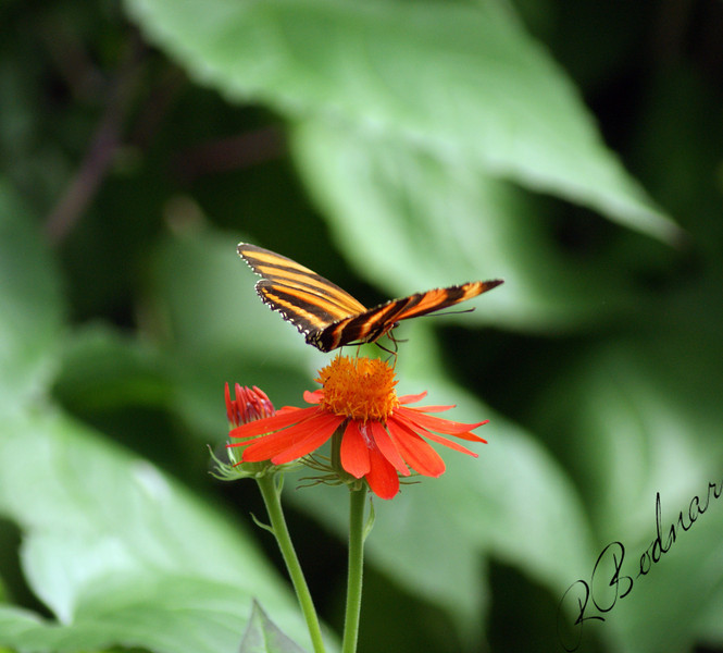 Photo By Robert Bodnar.................................Banded Orange Heliconian Butterfly
