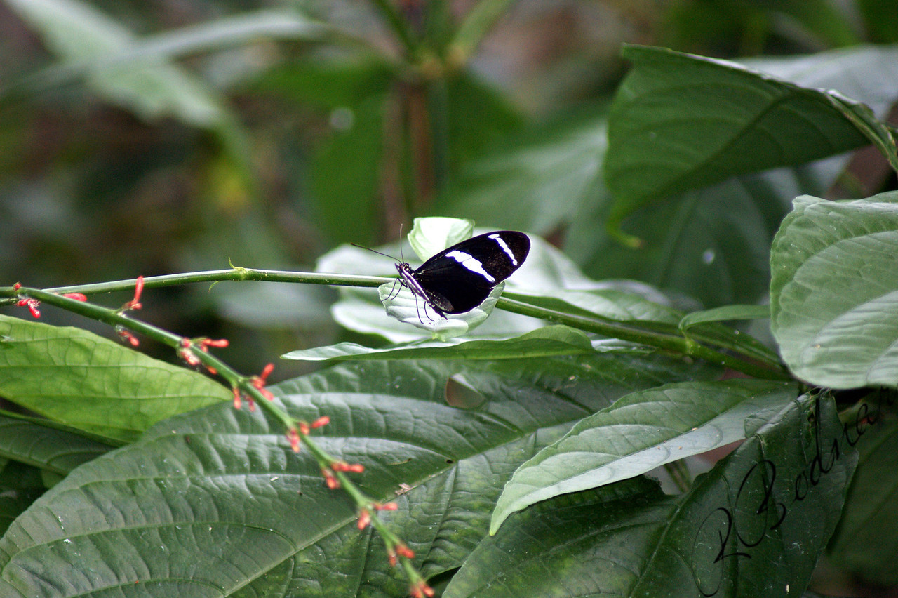 Photo By Robert Bodnar...............................Heliconius Cydno Butterfly