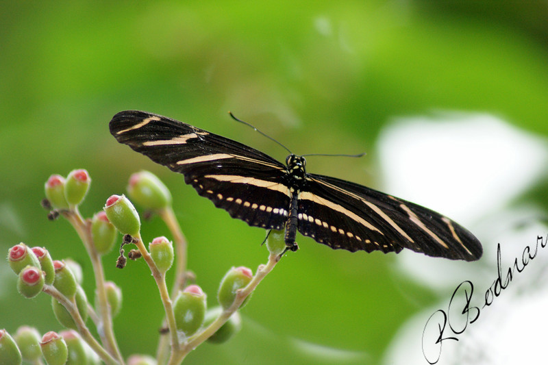 Photo By Robert Bodnar..............................Zebra Longwing Butterfly