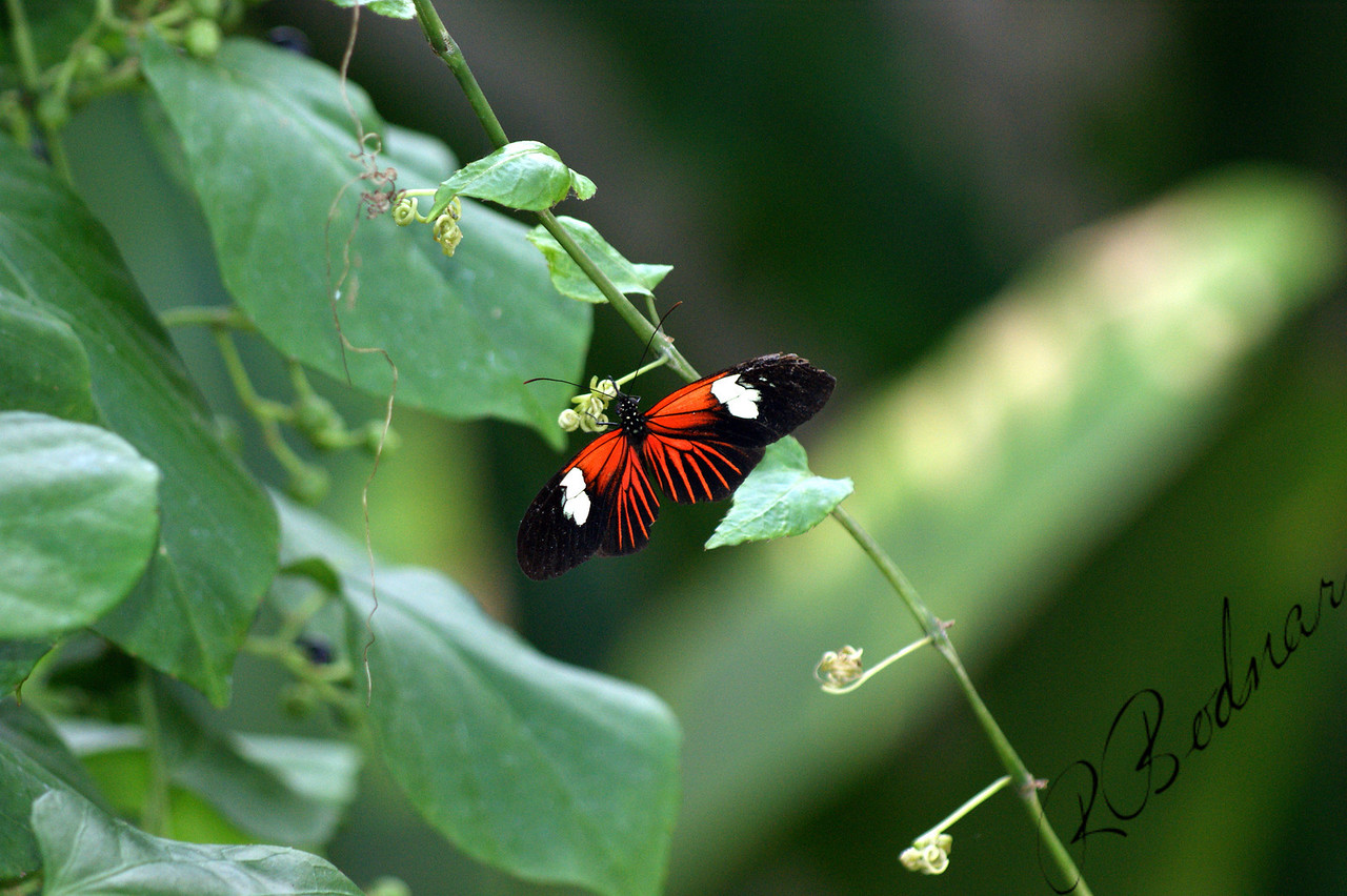 Photo By Robert Bodnar........................Heliconius Erato Notabilis Butterfly