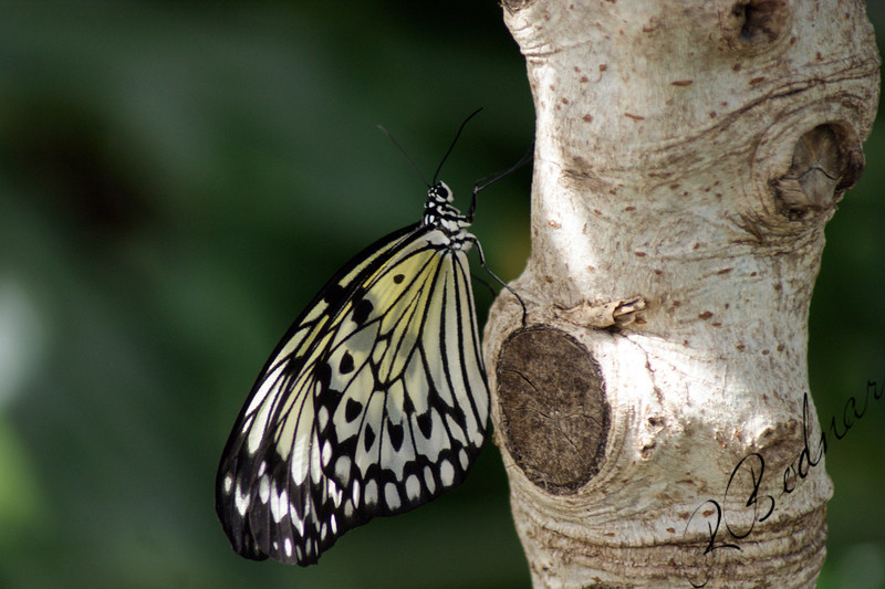 Photo By Robert Bodnar...................................Tree Nymph