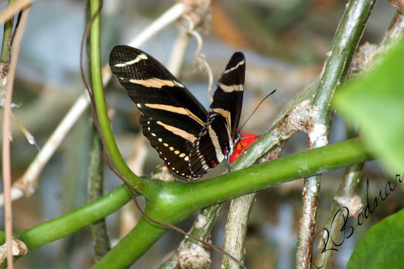 Photo By Robert Bodnar...................................Zebra Longwing Butterfly