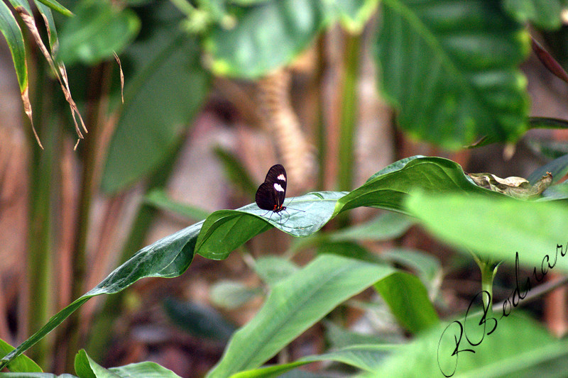 Photo By Robert Bodnar....................Heliconius Cydno Butterfly