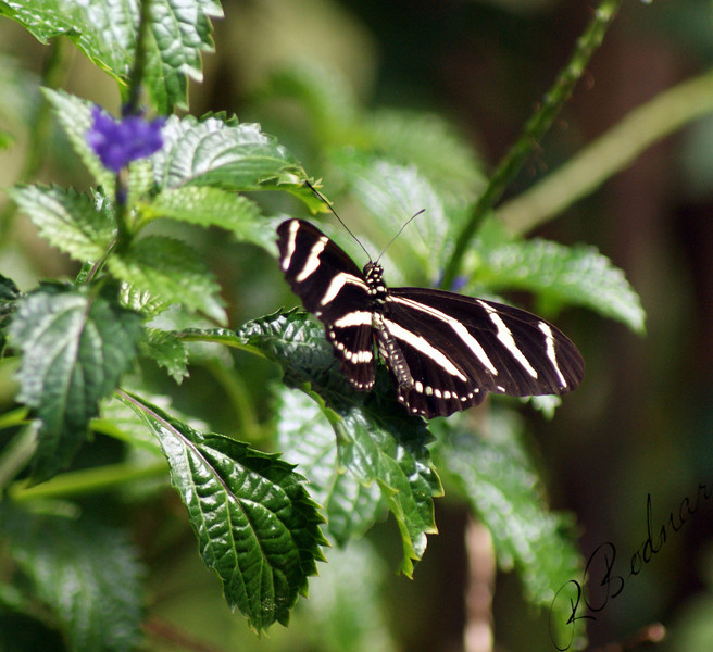 Photo By Robert Bodnar...................Zebra Heliconian Butterfly