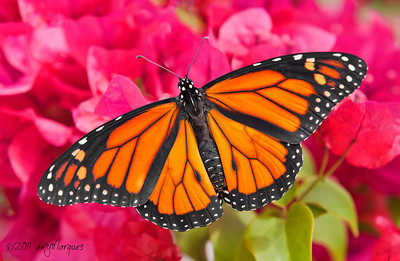 Monarch butterfly on bougainvillea.