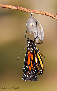 Newly emerged Monarch butterfly with wet wings.