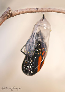 Monarch butterfly emerging from the chrysalis.