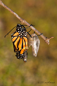 Freshly emerge Monarch butterfly.