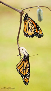 Fresh Monarch butterflies.