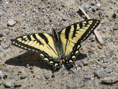 Swallowtails and Parnassians