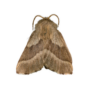 Forest tent moth  - ventralMalacosoma,  probably disstria