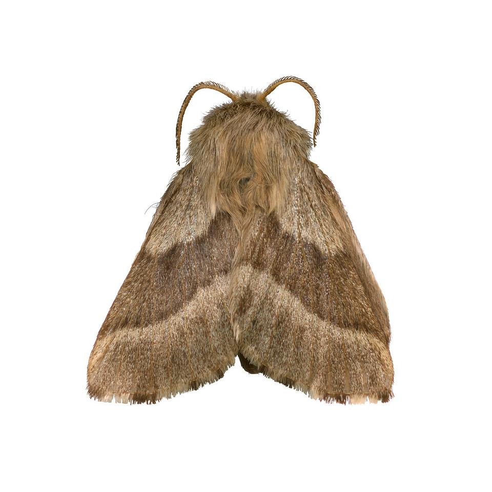 Forest tent moth  - ventralMalacosoma,  probably disstria