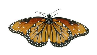 Queen Butterfly - ventral Danaus gilippus