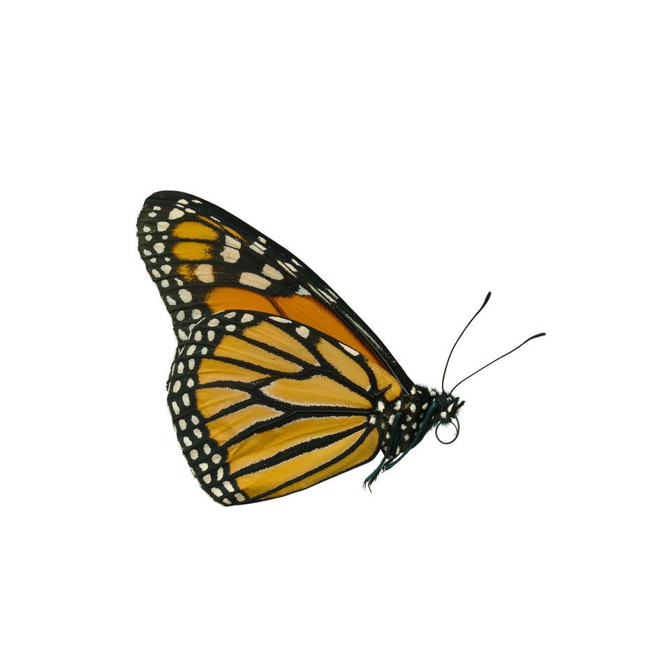 Monarch - ventralDanaus plexippus